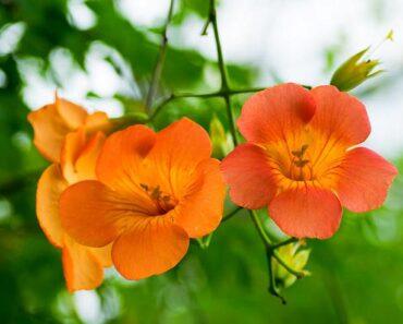 Lăng tiêu hoa