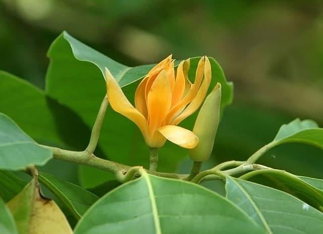 Hoa ngọc lan hoa vàng