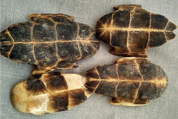 Công dụng của mai rùa