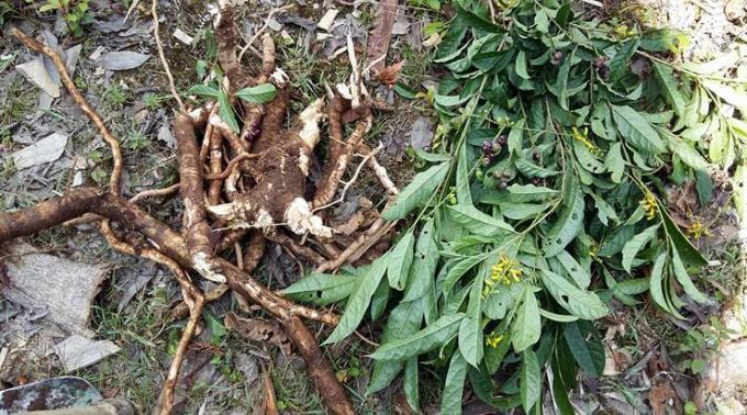 Rễ và cây viễn chí đuôi vàng
