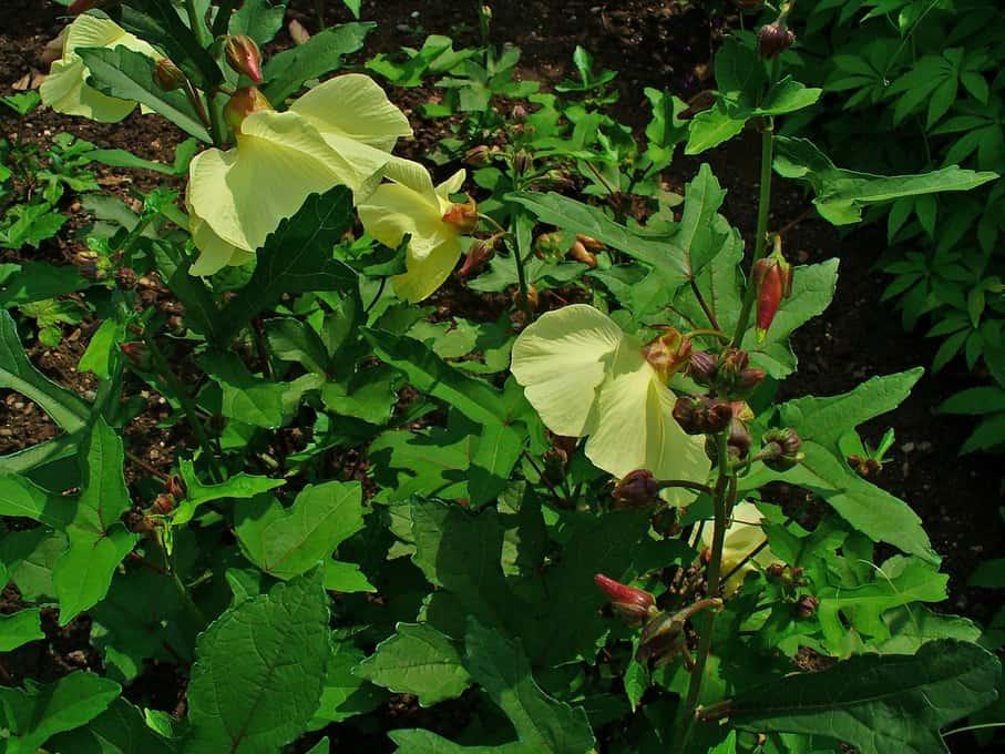 Hoa và lá thục quỳ vàng