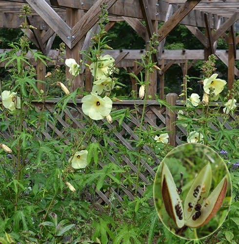 Hoa và quả thục quỳ vàng