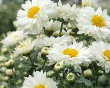 Cúc hoa trắng