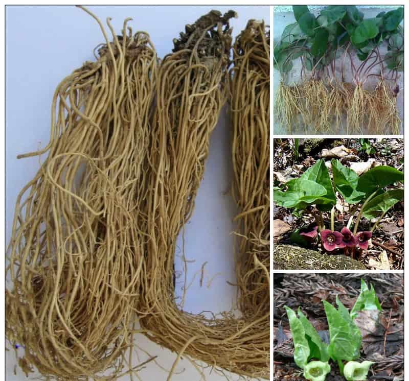 Cây và rễ tế tân