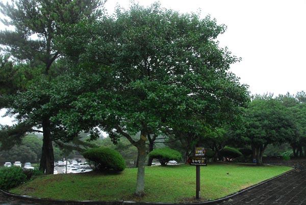 cây bù tròn