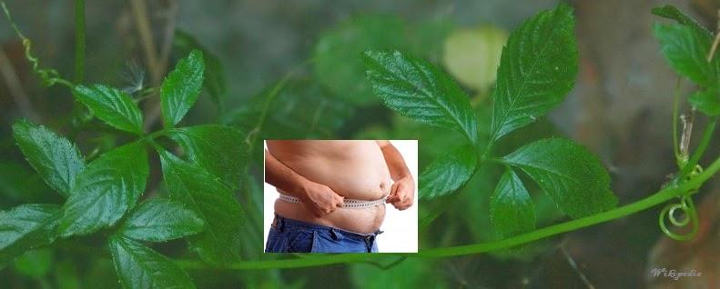 Giảo cổ lam điều trị béo phì
